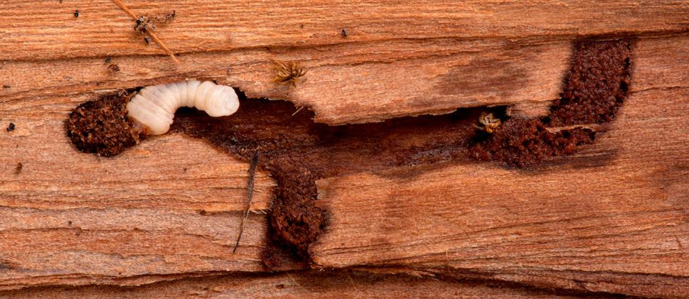 Madera carcoma y termita grupo sedesa - Como combatir la carcoma ...